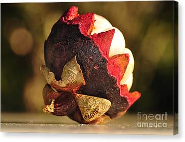 Tropical Mangosteen - The Medicinal Fruit Canvas Print by Kaye Menner