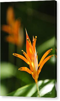 Tropical Orange Heliconia Flower Canvas Print