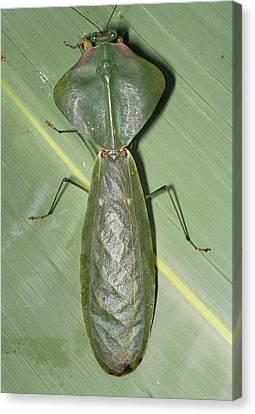 Tropical Shield Mantis Canvas Print by Dr George Beccaloni