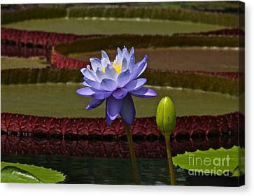Tropical Water Lilies Canvas Print by Byron Varvarigos