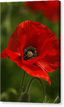 Truly Red Oriental Poppy Wildflower Canvas Print