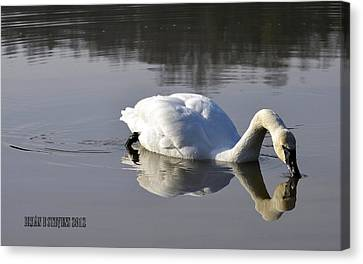Canvas Print featuring the photograph Trumpeter Swan by Brian Stevens