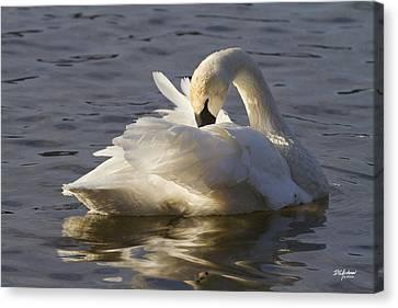 Trumpeter Swan Preening Canvas Print