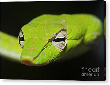 Whip-snake Canvas Print - Trust In Me by Gary Bridger