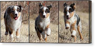 Tryptich Of Puppy Running Canvas Print by Pat Gaines