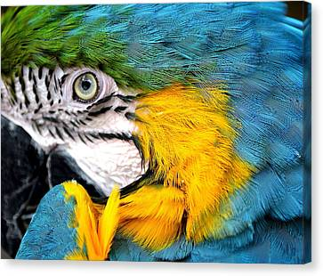 Blue And Gold Macaw Canvas Print - Tucked In by Fraida Gutovich