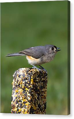 Tufted Titmouse On Treat Canvas Print by Bill Tiepelman