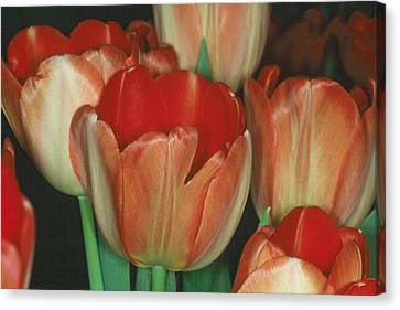 Tulip 1 Canvas Print by Andy Shomock