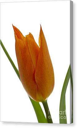 Tulip -1 Canvas Print