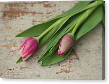 Tulip Buds Canvas Print by Elin Enger