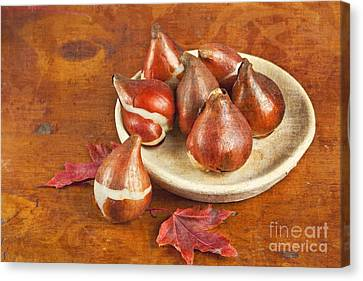 Canvas Print featuring the photograph Tulip Bulbs Brocade by Verena Matthew