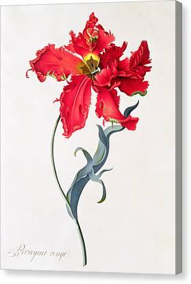 Tulip Perroquet Rouge Canvas Print by Georg Dionysius Ehret