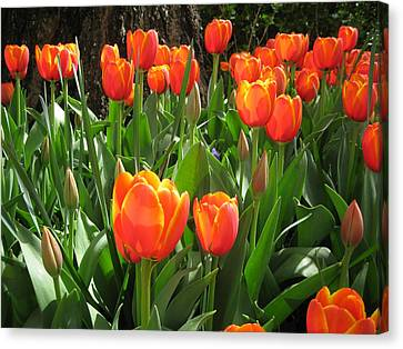Tulip Time Canvas Print by Margaret Hodgson