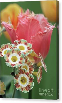 Tulip (tulipa 'fancy Frills') Canvas Print by Archie Young