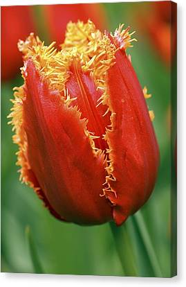 Tulip (tulipa 'willem Van Orange') Canvas Print