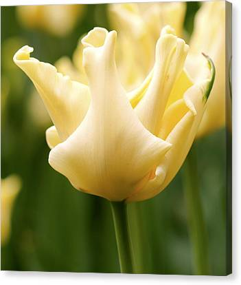 Tulip (tulipa 'yellow Crown') Canvas Print