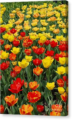 Canvas Print featuring the photograph Tulips by Eva Kaufman