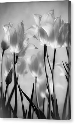Canvas Print featuring the photograph Tulips Glow by Michelle Joseph-Long