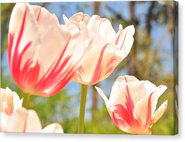 Canvas Print featuring the photograph Tulips by Helen Haw