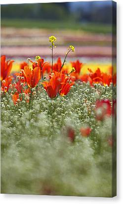 Tulips In A Field At Wooden Shoe Tulip Farm Canvas Print by Design Pics / Craig Tuttle