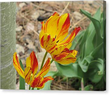 Canvas Print featuring the photograph Tulips In Aspen by Shawn Hughes