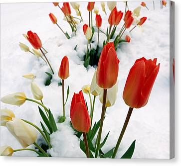 Tulips In The Snow Canvas Print by Steven Milner
