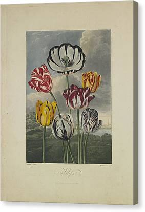 Tulips Canvas Print by Robert John Thornton