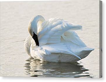Tumpeter Swan Canvas Print by Larry Ricker