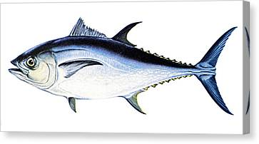 Tuna Canvas Print by Granger