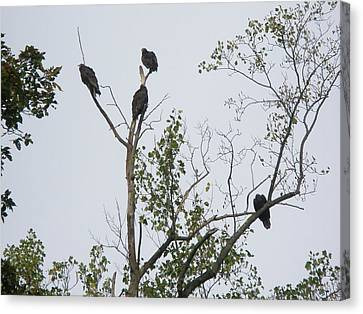 Turkey Vulture - Cathartes Aura Canvas Print by Mother Nature
