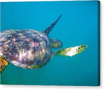 Turtle 9 Canvas Print by Erika Swartzkopf