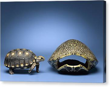 Turtle Looking At Larger, Empty Shell Canvas Print by Jeffrey Hamilton