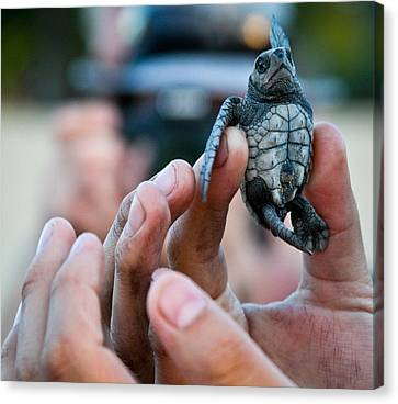 Turtle Release In San Pancho Canvas Print by Atom Crawford