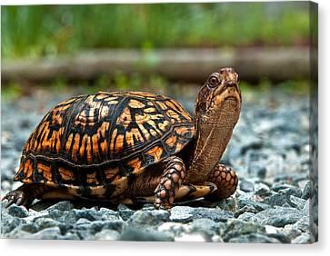 Turtle Shine Canvas Print