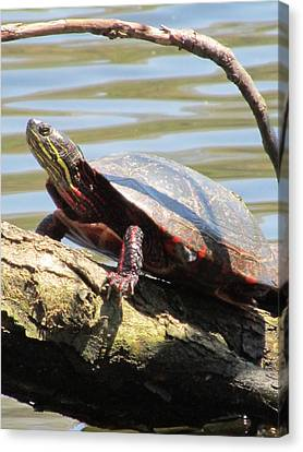 Turtle Canvas Print by Todd Sherlock