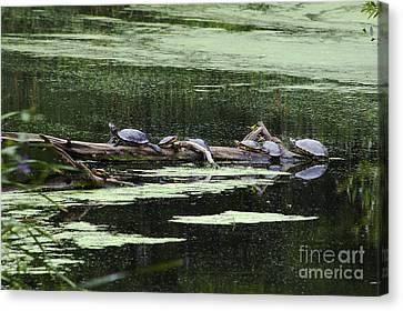 Turtles On Log Scarboro Pond#1  Canvas Print by Gordon Gaul