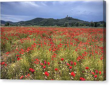 Tuscany Poppies 2 Canvas Print by Al Hurley