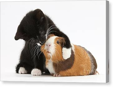 Tuxedo Kitten Hugging Guinea Pig Canvas Print by Mark Taylor