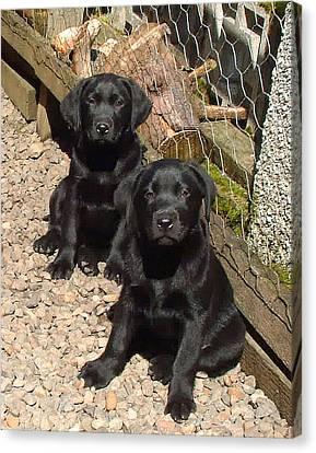 Twin Black Labrador Puppies Canvas Print