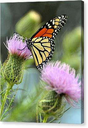 Twin Thistle Butterfly Canvas Print by Marty Koch