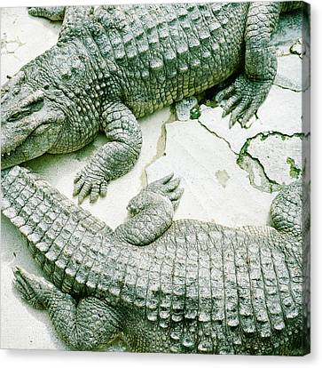 Two Alligators Canvas Print by Yasushi Okano