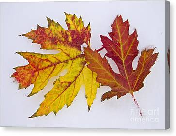Two Autumn Maple Leaves  Canvas Print by James BO  Insogna