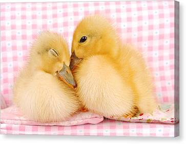 Two Baby Ducks Who Like Each Other Canvas Print by Dominik Eckelt