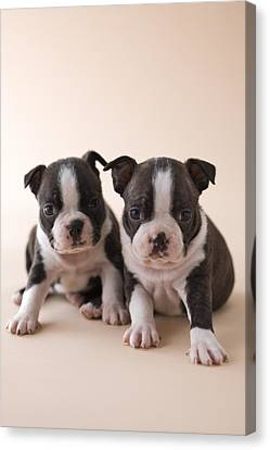 Two Boston Terrier Puppies Canvas Print by Mixa