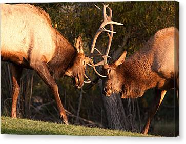 Two Bull Elk Sparring 93 Canvas Print by James BO  Insogna