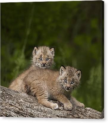 Two Canada Lynx Lynx Canadensis Kittens Canvas Print by Richard Wear