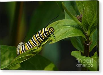 Two Caterpillars Canvas Print by Steve Augustin