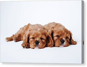 Two Cavalier King Charles Spaniel Puppies Sleeping In Studio Canvas Print by Martin Harvey