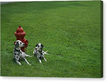 Two Dalmatians Sit On Green Grass Canvas Print by Nadia M.B. Hughes