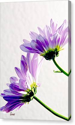 Two Dasies Canvas Print